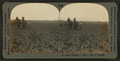 Cultivating a field of beets in Colorado, by Keystone View Company.png