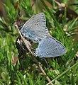 Cupido minimus (Small Blue) - Flickr - S. Rae.jpg