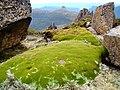 Cushion-plant-atop-Mount-Ossa.jpg