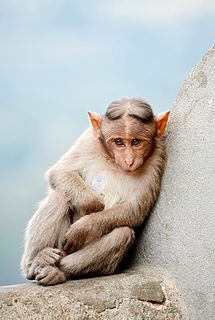 Bonnet macaque Species of Old World monkey