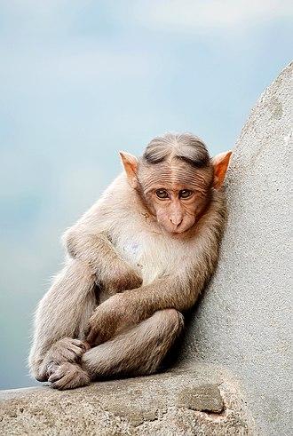Bonnet macaque - Image: Cute Monkey