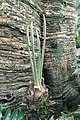 Cycas circinalis kz01.jpg