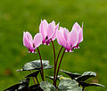 Cyclamen hederifolium. Locatie, Tuinreservaat Jonker vallei 01.jpg