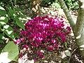 Cyclamen hederifolium dark pink - Flickr - peganum (2).jpg