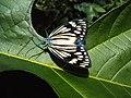 Cyclosia papilionaris - Drury's Jewel - at Peravoor (11).jpg