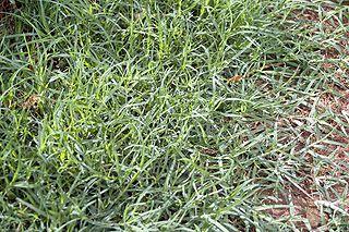 <i>Cynodon dactylon</i> Species of grass