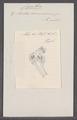 Cynthia microcosmus - - Print - Iconographia Zoologica - Special Collections University of Amsterdam - UBAINV0274 092 01 0045.tif