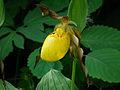 Cypripedium pubescens MLA-2.jpg