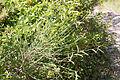 Cytisus scoparius-Genêt à balais-20150620.jpg