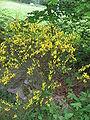 Cytisus scoparius01.jpg