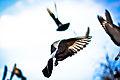 Décollage de pigeon.jpg