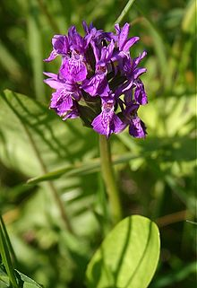 Dactylorhiza purpurella - Northern marsh orchid 1.jpg