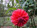 Dahliya flower red2.jpg
