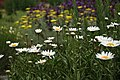 Daisy Field (2627815904).jpg