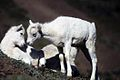 Dall sheep lambs.jpg