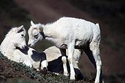 Two Dall Sheep lambs