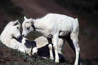 Wildlife of Alaska - Dall sheep lambs on an Alaska cliff.