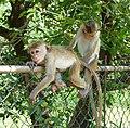 Dambulla-Macaque à toque.jpg
