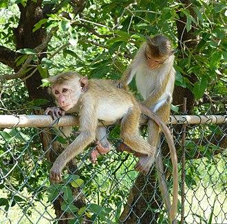 Toque macaque - Grooming behaviour