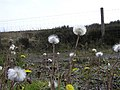 Dandelion Clocks, Omagh - geograph.org.uk - 1267661.jpg