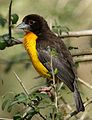 Dark-backed weaver, Ploceus bicolor, also known as the forest weaver at Ndumo Nature Reserve, KwaZulu-Natal, South Africa (28299125164).jpg