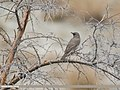 Dark-throated Thrush (Turdus ruficollis) (47484626602).jpg