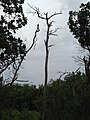 Dead Tree - panoramio (1).jpg
