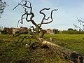 Dead tree on the ground - panoramio.jpg