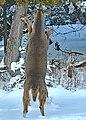 Deer Fight in the Back Yard -- Drummond Island, Michigan in Winter - 49714378547.jpg