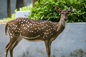 Guindy National Park - Freely wandering deer at Children's park/Guindy National Park, Chennai.
