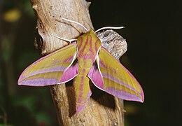 Deilephila elpenor 02.jpg
