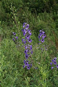 Delphinium maackianum 99994009.jpg