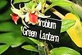 Dendrobium Green Lantern 2zz.jpg