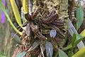 Dendrobium aggregatum GotBot 2015 001.jpg