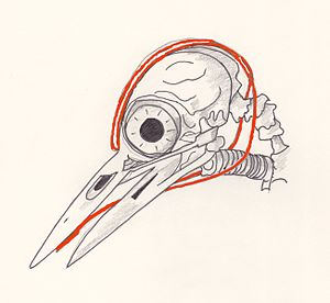 Great spotted woodpecker - Skull showing tongue and supporting structures.