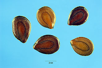 Desmanthus - Desmanthus illinoensis seeds