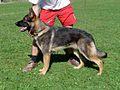 Deutscher Schaeferhund03.jpg