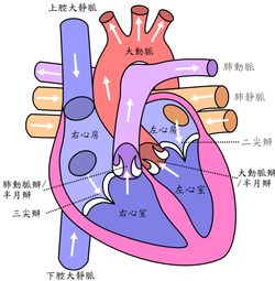Diagram of the human heart (cropped)(ZH T).png