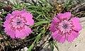 Dianthus callizonus 4.JPG