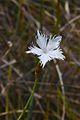 Dianthus serotinus (7997174870).jpg