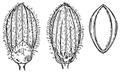 Dichanthelium acuminatum var acuminatum (as Panicum acuminatum) HC-1910.png