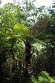 Dicksonia squarrosa kz01.jpg