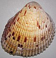 Dinocardium robustum (Atlantic giant cockle shell) (Sanibel Island or Cayo Costa Island, Florida, USA) 1.jpg