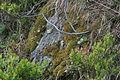 Diplophyllum taxifolium (b, 141237-472401) 4520.JPG