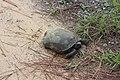 Doerun Pitcherplant Bog golpher tortoise.jpg