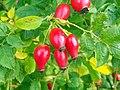 Dog Rose (Rosa canina) fruits (5041020473).jpg