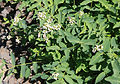 Dogbane Apocynum androsaemifolium Convict Lake.jpg
