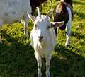 Domestic Goat 2 Germany - Hesse.JPG