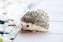 Hedgehog Pet Price >> Domesticated Hedgehog Wikipedia