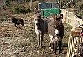Donkeys near Great South Tolgus Mine - geograph.org.uk - 1185489.jpg